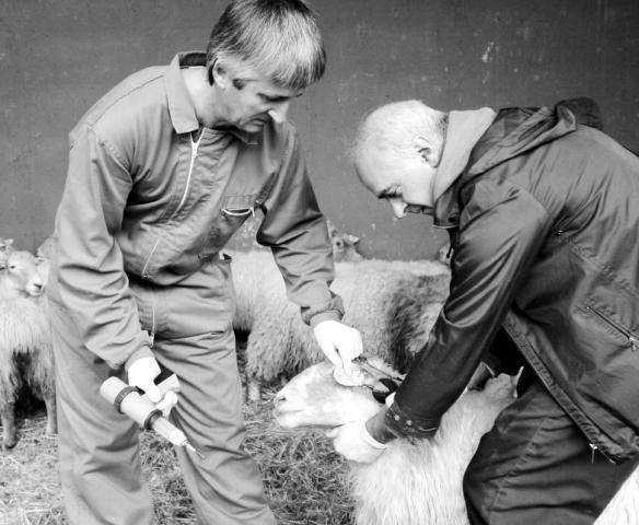 vacunando-ovejas