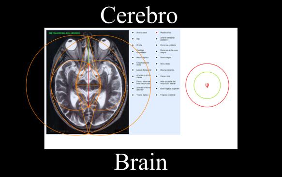 brain-phi